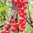 Schisandra chinensis (Schisandra)